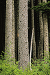 A thick stand of western hemlock and Sitka spruce in the Tongass National Forest, Mitkof Island, Alaska