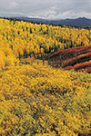 Brilliant fall colors in birch, willow, and blueberry at the Arctic Circle looking into Yukon Flats National Wildlife Refuge from the Dalton Highway, arctic Alaska