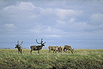 Caribou on the arctic coastal plain, Alaska