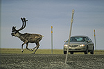 A caribou leaps across the Dalton Highway to avoid a car near Prudhoe Bay, arctic Alaska