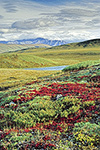 Bright red bearberry in fall tundra with Philip Smith Mountains in background, Arctic National Wildlife Refuge, Alaska