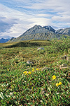 Arctic poppies in the tundra at Galbraith Lake, Brooks Range, arctic Alaska