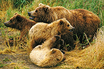 Brown bear sow with three yearling cubs, Naknek Lake, Katmai National Park, Alaska