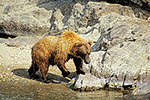 A brown bear searches for salmon along a stream in the remote backcountry of Katmai National Park, Alaska