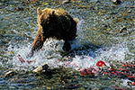 A large brown bear lunges after red salmon in a stream in the remote backcountry of Katmai National Park, Alaska