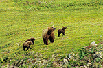 A brown bear sow with new spring cubs on the open tundra, Katmai National Park, Alaska