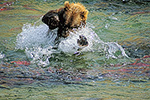 A brown bear lunges after red salmon in a stream in the remote backcountry of Katmai National Park, Alaska
