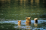 A brown bear sow and cub fishing for salmon in Naknek Lake, Katmai National Park, Alaska