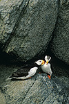 A nesting pair of horned puffins nuzzle, Round Island, Walrus Islands Game Sanctuary, Bristol Bay, Bering Sea, Alaska