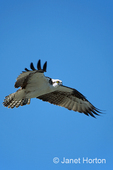 Osprey flying with outstretched wings
