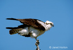 Osprey watching for food while sitting on a tree branch