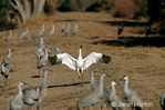 Whooping Crane with outstretched wings, mixed with a flock of Sandhill Cranes