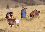 Pronghorn watching three wildlife photographers from behind
