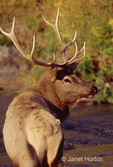 Bull Elk or Wapiti with antlers over the shoulder view