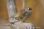 White-Crowned Sparrow sitting on branch