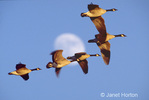 Canadian Geese flying in formation with moon in the background