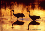 Two Sandhill Cranes silhouette walking in lake at sunrise with reflection