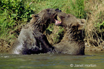 Two teenage Grizzly or Brown Bears play fighting in a stream