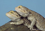 Two Bearded Dragons, one on top of the other, sitting on a rock.