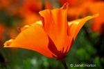 California Poppy, open, backlit