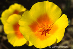 Mexican Gold Poppies or California Goldpoppy or Copa de Oro or Amapola del Campo wildflowers