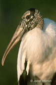Wood Stork head and shoulders close-up