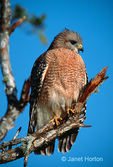 Red-Shouldered Hawk resting on branch with tail feathers spread
