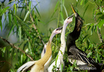 3 Anhinga immature birds begging for food from parent