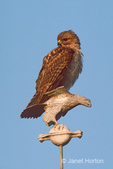 Juvenile Red-Tailed Hawk on statue of a hawk