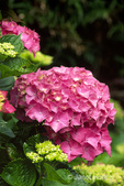 Pink Hydrangea close-up in backyard garden