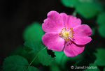 Wood Rose or Wood's Rose or Interior Rose wildflower