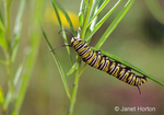 Monarch Butterfly caterpillar climbing on and eating milkweed plants