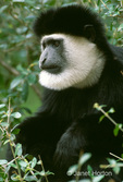 Black and White Colobus monkey close-up, sitting in a tree