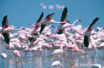 Flying Lesser Flamingoes, over a flock of Lesser Flamingoes
