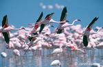 Flying Lesser Flamingoes, over a flock of Lesser Flamingoes