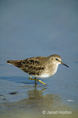 Least Sandpiper wading on the seashore searching for food