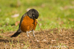 Male American Robin pulling earthworm out of the ground.