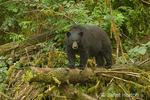 Black Bear standing on fallen log by stream in Kake, Alaska
