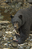 Black bear eating fish, with fish sticking out of his mouth, in rocky stream bed