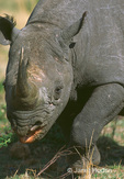 Browse (Black) rhino close-up