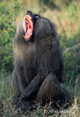 Olive Baboon with open mouth, showing large teeth