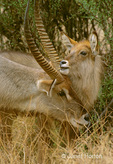Common Waterbuck male and female, nuzzling each other in courting behavior