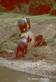 African elephants dust bathing after crossing the river, including baby elephants rolling in the dirt