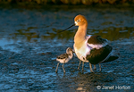 American Avocet mother and chicks, 2 chicks under her wing and a third chick walking up to her
