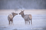 Two female American Elk cows, one with a radio collar, sniffing noses at sunrise on a foggy morning in a frost-covered field