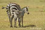 Mother and baby Common Zebra wagging tails to shoo flies away in the savannah of Ngorongoro Crater, Tanzania