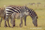 Mom and baby Common Zebra, with mom eating grass and baby with open mouth vocalizing a barking bray sound