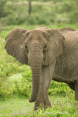 African Elephant standing in forest with ears out