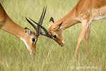 Impala males fighting over clan of nearby female Impalas