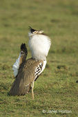 Kori Bustard male displaying courting behavior for nearby female, with a loud, deep drumming sound.